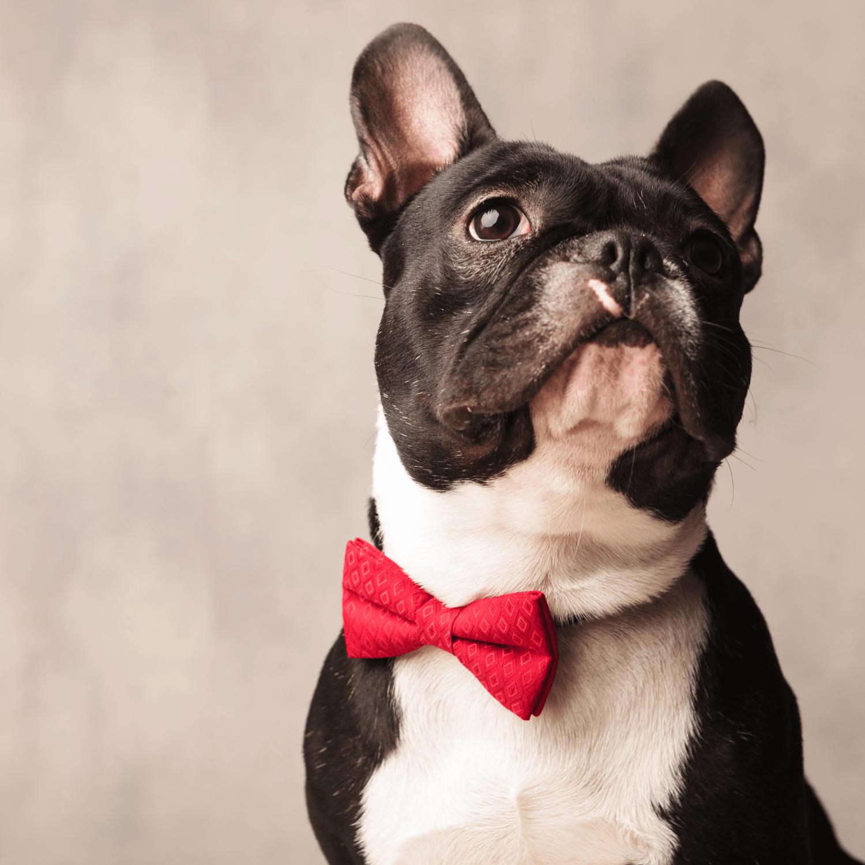 doggy detail breeds french bulldog