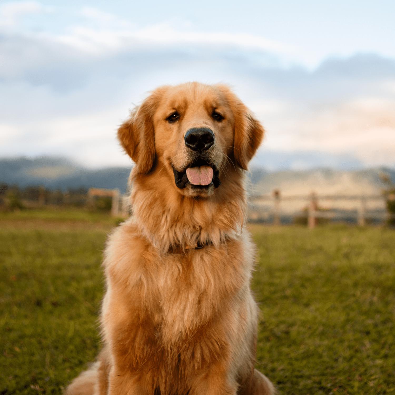 doggy detail breeds golden retriever