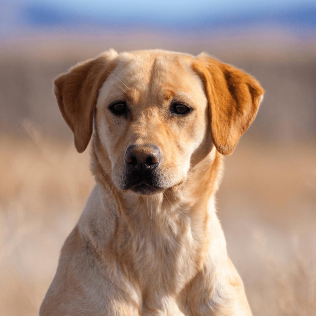 doggy detail breeds labrador retriever
