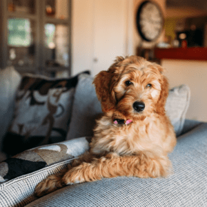labradoodle sitting on couch
