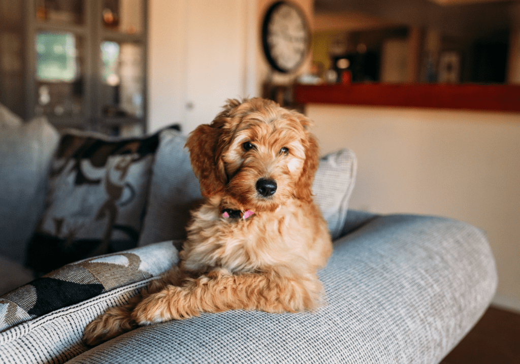 labradoodle dog sitting on couch