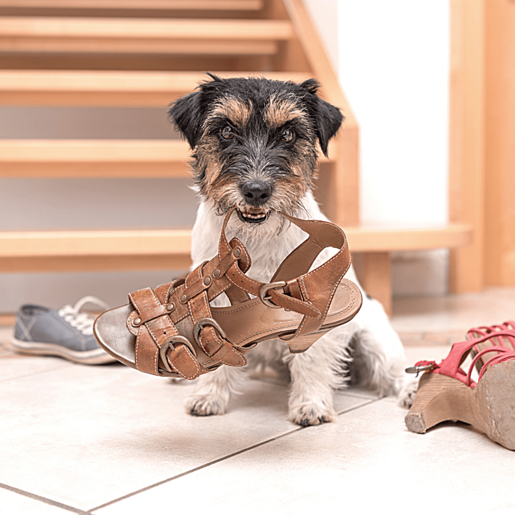 A dog is chewing a shoe.