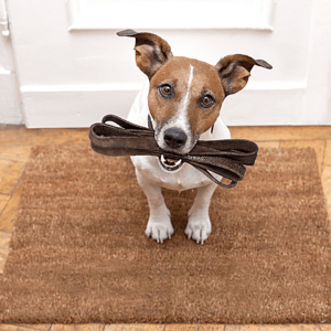 A dog is holding a leash in its mouth.