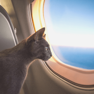 A cat is looking out an airplane window.