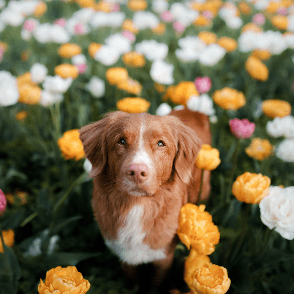 A dog is sitting in a field of flowers.