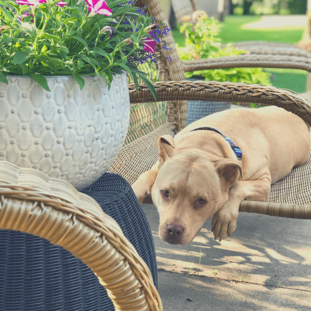 A dog is laying on a chair outside during the dog days of summer.