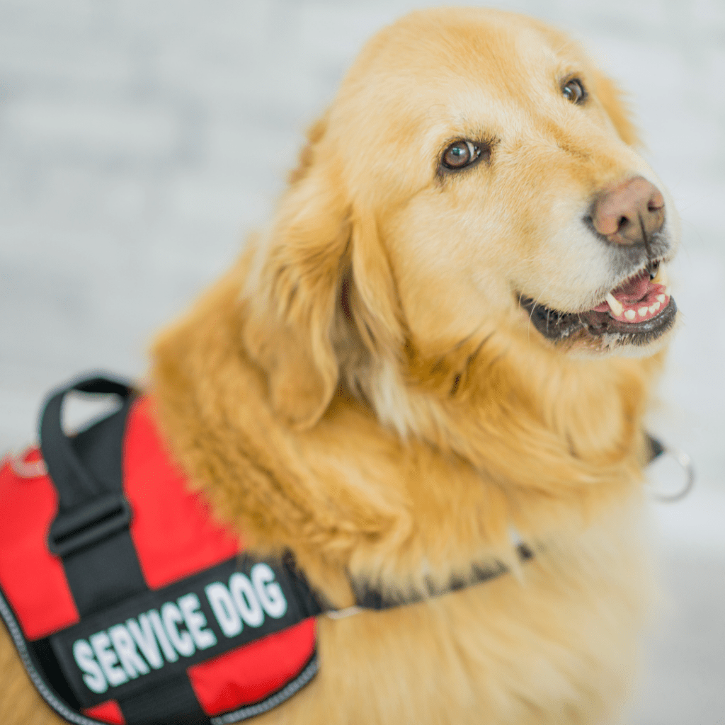 A service dog is sitting.